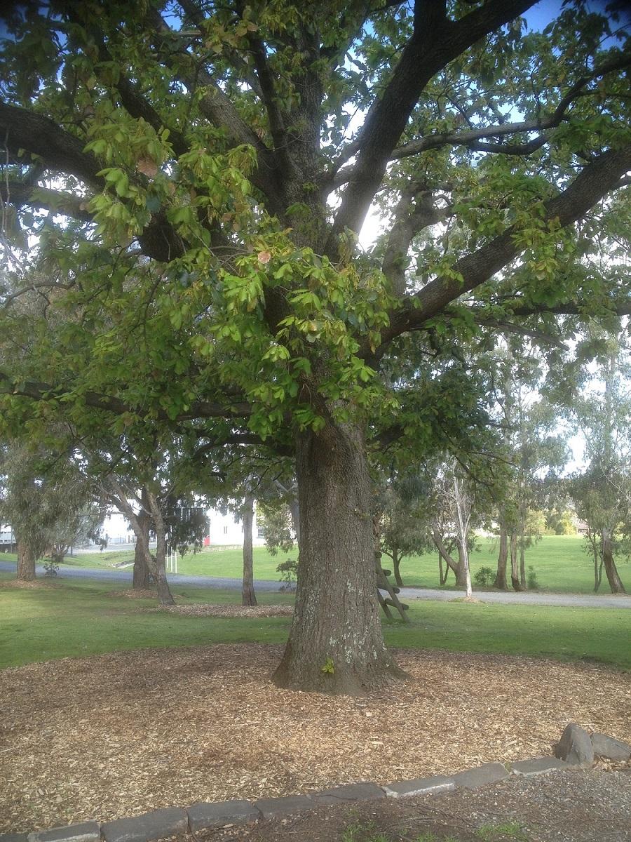 IMG_2667Heritage tree KWC